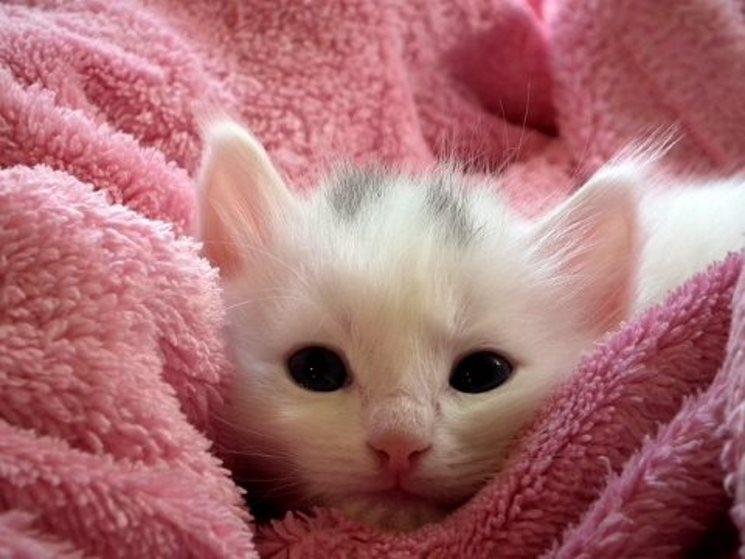 3225ed0bdaca Η λοιμώδης περιτονίτιδα της γάτας