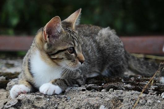 43a6f66ef9e5 3 συχνές δερματικές παθήσεις της γάτας και συμπτώματα - Κατοικίδια ...